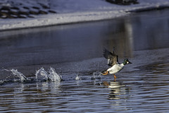 Winter Olympics (Peter Stahl Photography) Tags: commongoldeneye goldeneye male winter