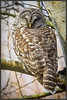 Barred Owl (Maclobster) Tags: barred owl reife bird sanctuary