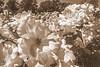 Flowers in sepia (Wal Wsg) Tags: floresensepia flowersinsepia crazytuesdaytheme 7dwf flores flowers sepia flower floresflowers florflower naturaleza nature natural naturale natura phwalwsg argentina buenosaires palermo caba capitalfederal ciudaddebuenosaires ciudadautonoma rosedaldepalermo dia day photography photo