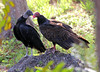 Kissing Cousins -- Black Vulture (Coragyps atratus) and  Turkey Vulture (Cathartes aura);  Fort Myers, Fl, Lakes Regional Park [Lou Feltz] (deserttoad) Tags: nature water animal park florida bird wildbird swamp raptor vulture behavior