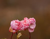 January Roses (vern Ri) Tags: rose fleur flora bloom blumen nikon pink winter