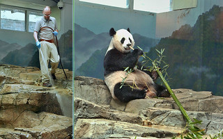 Mei Xiang (Marty just cleaned my apartment. Looks good. Feels good. Smells good–oops–that heady aroma is from the boo. Anyway, thanks Marty! No matter what those shutdown folks say, all my keepers are essential personnel.) 2017-05-10 at 9.55 & 10.38 AM