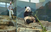 Mei Xiang (Marty just cleaned my apartment. Looks good. Feels good. Smells good–oops–that heady aroma is from the boo. Anyway, thanks Marty! No matter what those shutdown folks say, all my keepers are essential personnel.) 2017-05-10 at 9.55 & 10.38 AM (MyFoto:)) Tags: pandas endangered vulnerable meixiang mammals giantpanda ailuropoda melanoleuca smithsonian nationalzoo nature conservationdependent wildlife zoologicalgardens washington dc eating bamboo keeper