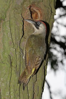 Green Woodpecker (5)