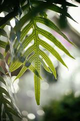 longwood-51 (Jen MacNeill) Tags: longwood gardens garden kennettsquare pennsylvania pa plants plant nature greenhouse fern ferns