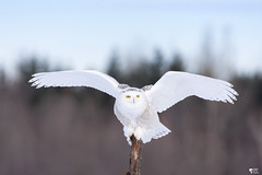''Angel white!'' Harfang des neiges-Snowy owl (pascaleforest) Tags: owl hibou oiseau bird passion nikon nature winter hiver white wild wildlife blanc snowy faune québec canada animal ange angel forêt forest ciel sky