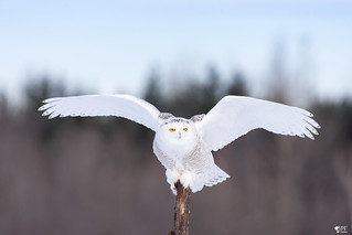 ''Angel white!'' Harfang des neiges-Snowy owl