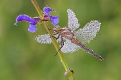 Orthetrum brunneum (Raffaella Coreggioli ( fioregiallo)) Tags: macro fioregiallo fotografia fioregiallo2009 fiori flora farfalla insetti natura nikon naturalistica ali gocce rugiada