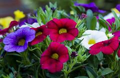 Flowers. (ost_jean) Tags: nikon d5200 tamron sp 90mm f28 di vc usd macro 11 f004n ostjean petunia