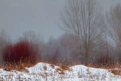 Grey Day. MMXVIII (WilliamBee) Tags: snow forest tree nature bush winter landscape snowstorm beautiful red nobody