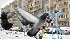 Birds in the city (Staropramen1969) Tags: pigeons birds winter city dubna russia snow tauben vögel stadt russland schnee palomas pájaros invierno ciudad rusia nieve
