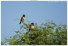 Rosy Starling (गुलाबी मैना) - Pastor roseus (jhureley1977) Tags: rosystarling गुलाबीमैना pastorroseus birds birding indiabirding2018 indiabirds birdsofindia ashjhureley avibase naturesvoice bbcspringwatch rspbbirders sanctuaryasia orientbirdclub ashutoshjhureley jabalpur jabalpurbirds