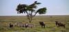 68 (Ngaiza Adventures) Tags: africa animals birds landscape ndutu safari serengeti tanzania travel vulture wildebeest wildlife zebra
