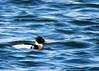 RBME (Kelly Preheim) Tags: redbreasted merganser birds waterfowl south dakota
