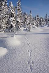 Hare tracks (janrs7) Tags: tracks winterwonderland winter february snow pristinesnow sparklingsnow sonyemount1650mm sonyilc6000 norway