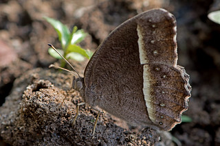 Mycalesis malsara - the White-line Bushbrown (dsf)