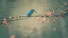 Kingfisher II (michel1276) Tags: kingfisher eisvogel vogel vögel bird nature wildlife outdoor feather beautiful canon canon100400 100400