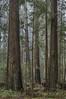 Redwood Forest 16 (northcoastgreg) Tags: eelriver fortuna