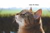 primadonna cat (ambcroft) Tags: animals animali cats gatti portrait ritratto boke bokeheffect effettobokeh nikon nikond3000