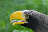 Steller's sea eagle (Nemanja Zotovic PHOTOGRAPHY) Tags: portrait eagle accipitridae head yellow bird fauna life aves avialae bill close nature endangered pelagicus eye look natural haliaeetus endemic wildlife macro accipitriformes animal prey steller wild zoo europe beak greenleaves grass blackhead tongue whistling calling blurry wallpaper