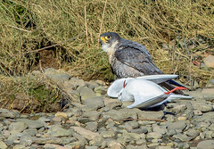 JWL3930  Pergrine Falcon.. (jefflack Wildlife&Nature) Tags: peregrinefalcon peregrine birds avian animal animals wildlife wildbirds wetlands raptors birdsofprey hawk hawks hunters prey countryside coastalbirds crags cliffs rocks ogmore nature falcon falcons