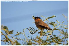 Brahminy Starling (कालासिर मैना, चन्ना हुडी) - Sturnia pagodarum (jhureley1977) Tags: brahminystarling कालासिरमैना चन्नाहुडी sturniapagodarum birds birding india indiabirds indiabirding2018 birdsofindia ashjhureley avibase naturesvoice bbcspringwatch rspbbirders sanctuaryasia orientbirdclub ashutoshjhureley jabalpur jabalpurbirds