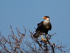 Northern crested caracara - Caracara du nord (Sylvain Nadeau) Tags: birds colombie oiseaux
