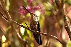 Coeligena helianthea - hembra (natyasanchez) Tags: colibrí bird hummingbird birdsofcolombia coeligenahelianthea samsungnx1000 samsungnx trochilidae bluethroatedstarfrontlet