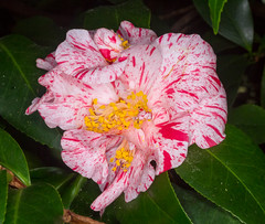 Peppermint Camellia (tresed47) Tags: 2018 201802feb 20180208longwoodflowers camellia canon7d chestercounty content february flowers folder longwoodgardens pennsylvania peterscamera petersphotos places season takenby us winter