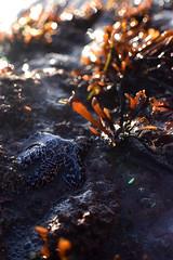 Starfish (juliaf211) Tags: starfish macro beach sunny waves kelp rock
