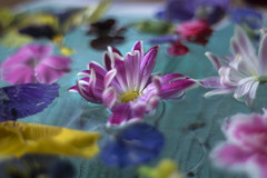 Floral touch// Toque floral (Mireia B. L.) Tags: flower pentacon18 pentacon50mm bokeh floraltouch floral colorful onwater flowersonwater floresflotando fresh crisantemo chrysanthemum chrysanthemumflower