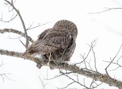 Great Gray Owl pooping! (Laura Erickson) Tags: strigidae birds stlouiscounty species strigiformes greatgrayowl places minnesota strixnebulosa