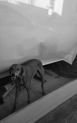 Attenti al cane (Aellevì) Tags: guardia ringhia cane morde vetrina vetro tenda denti paura aggressivo arrabbiato umore