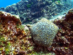Cushion star (markb120) Tags: sea water underwater diving scuba ocean coral