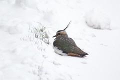 Unusual Visitor in the snow (Kay Musk) Tags: lapwing vanellinae bird wildlife wild gardenwildlife winter 2018 nikond3200 essex uk