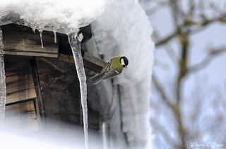Chickadee next to the icicles