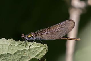 Female Beautiful Demoiselle (Calopteryx virgo) Bosbeekjuffer vrouw