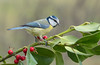 Un pallottolier per la cincia (rubacolor) Tags: birds cinciarella cyanistes caeruleus primavera bacche rosso
