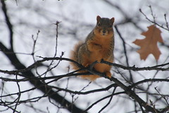 Squirrels in Ann Arbor on a Winter's Day at the University of Michigan (January 8th, 2018) (cseeman) Tags: gobluesquirrels squirrels annarbor michigan animal campus universityofmichigan umsquirrels01082018 winter eating peanut januaryumsquirrel umsquirrel snowsquirrels snow snowy overcast