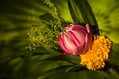 Lotus Flower Thailand (♥siebe ©) Tags: 2018 siebebaardafotografie thai thailand wwwsiebebaardafotografienl ประเทศไทย เมืองไทย ไทย nederland พวงมาลัย garland