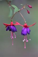 magic garden (sergrossov) Tags: rose roses flora flowers plant pastel flower bright pattern organic macro texture petal