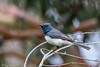 249A3247 (tonyclark468) Tags: male leaden flycatcher act