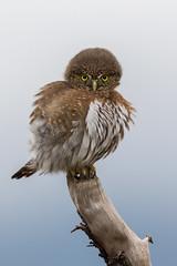 Cute as a bug's ear. (Melanie Leeson) Tags: northernpygmyowl birds birdsofcanada birdsofbritishcolumbia melanieleesonwildlifephotography blingsister birdsofnorthamerica owls
