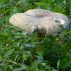 Mushroom P1350202mods (Andrew Wright2009) Tags: dorset england uk scenic britain holiday vacation tyneham deserted village army firing range wild plants flowers mushroom