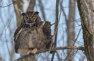 Grand-duc d'Amérique/Great Horned Owl-10482