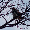 Red-tailed Hawk (Dendroica cerulea) Tags: redtailedhawk buteojamaicensis buteo buteoninae accipitridae accipitriformes aves birds hawk raptor birdofprey winter ayresbeach redsmarina highlandpark middlesexcounty nj newjersey