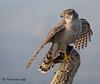 Azor - Astor - Northern goshawk (Fernando Guirado) Tags: 2018 enero olympus azor astor northerngoshawk em1mk2 em1ii 300mmf4pro pajaros pájaro ave bird raptor rapaz au mc14x