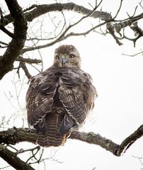 1624 (wdsb) Tags: bird raptor redtailedhawk buteojamaicensis hawk