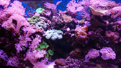 Underwater Garden (Seventh Heaven Photography) Tags: sea anemones coral garden pink water aquarium melbourne sealife life victoria australia sony xperia xz1 phone camera fish anemone corals green reef marine animal tentacles cnidaria