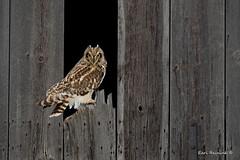 You got a problem?? (Earl Reinink) Tags: barn building wood plank owl raptor eyes nails shortearedowl earl reinink earlreinink rutdadudza